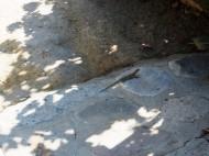 Des lézards partout à Chypre